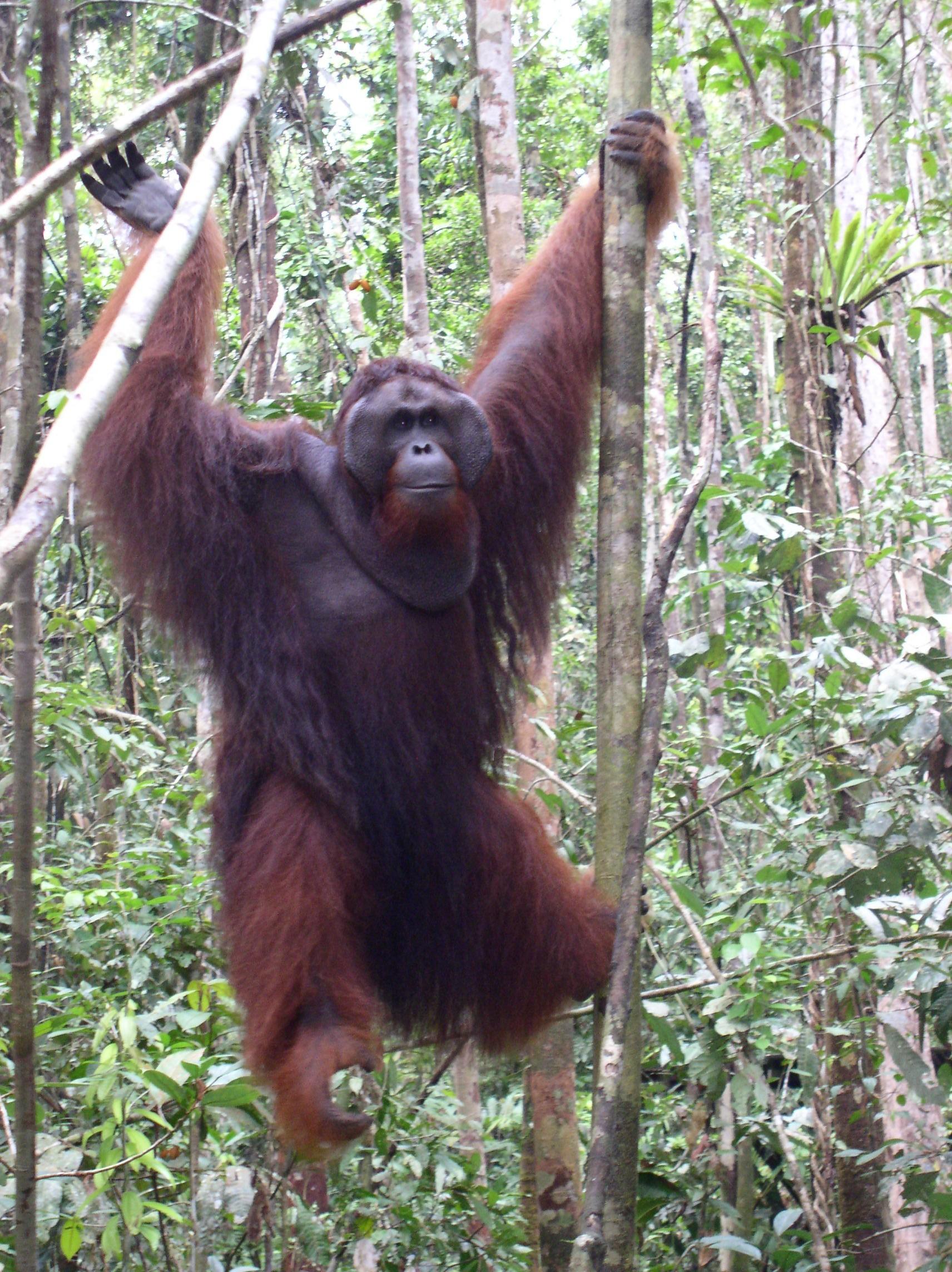 Caucasian Ovcharka v Bornean Orangutan