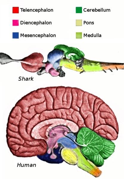 Biology Sharkandhumanbrain